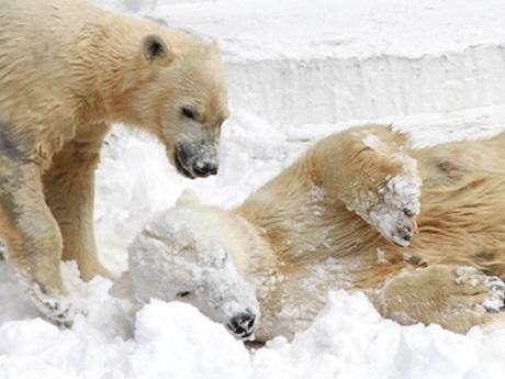 雪で遊ぶモモ(左)とバフィン