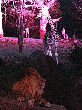 夜のキリンとライオン