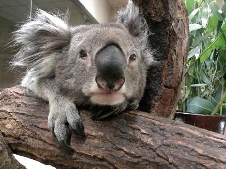 3月31日に死んだコアラ「アルン」(写真=2013年撮影、天王寺動物園提供)