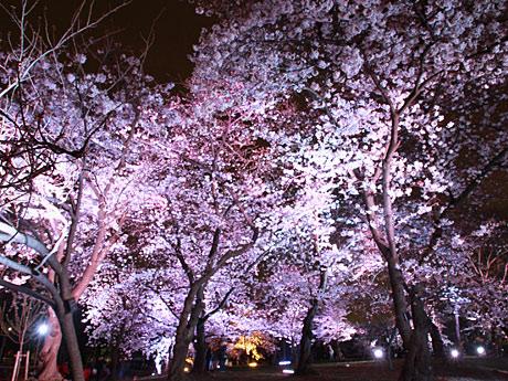夜桜をライトアップ