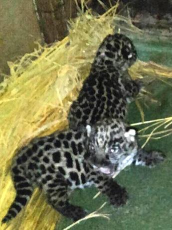 天王寺動物園で生まれたジャガーの赤ちゃん2頭(写真=同園提供)