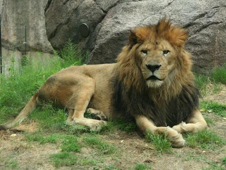 ライオン「レオ」(写真=天王寺動物園提供、2010年撮影)