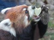 天王寺動物園でバレンタインイベント レッサーパンダ、ゾウにプレゼント