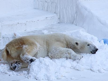 天王寺動物園、ホッキョクグマ「イッちゃん」に雪のプレゼント