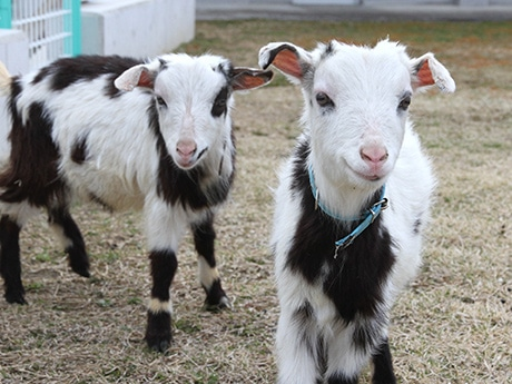 天王寺動物園でヤギ2頭お披露目(3月27日撮影)