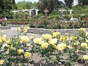 長居植物園のバラが見頃に ローズウイークも開催へ