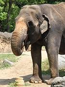 天王寺動物園でアジアゾウ「ラニー博子」に特製ケーキ 誕生日祝いで