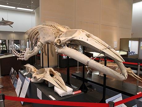 ザトウクジラの全身骨格標本