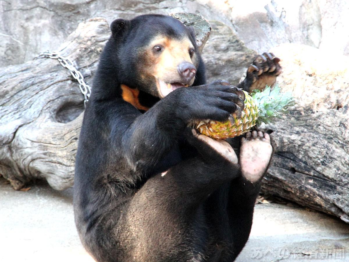 足の裏にバイナップルを載せて食べるマレーグマのマーサ