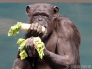 天王寺動物園で節分イベント チンパンジーに恵方巻きプレゼント