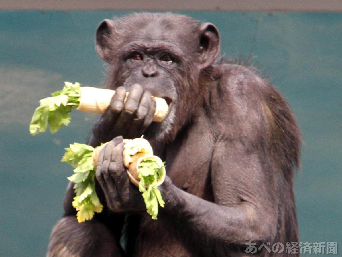 特製恵方巻きを丸かじるするチンパンジー