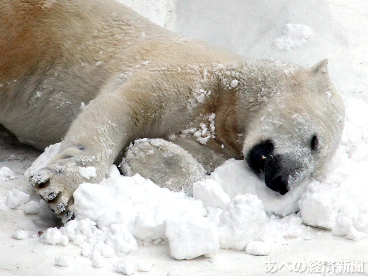 雪の上に寝そべるホッキョクグマのイッちゃん