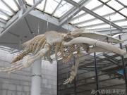 大阪市立自然史博物館でザトウクジラの全身骨格標本「ザットン」が常設展示に