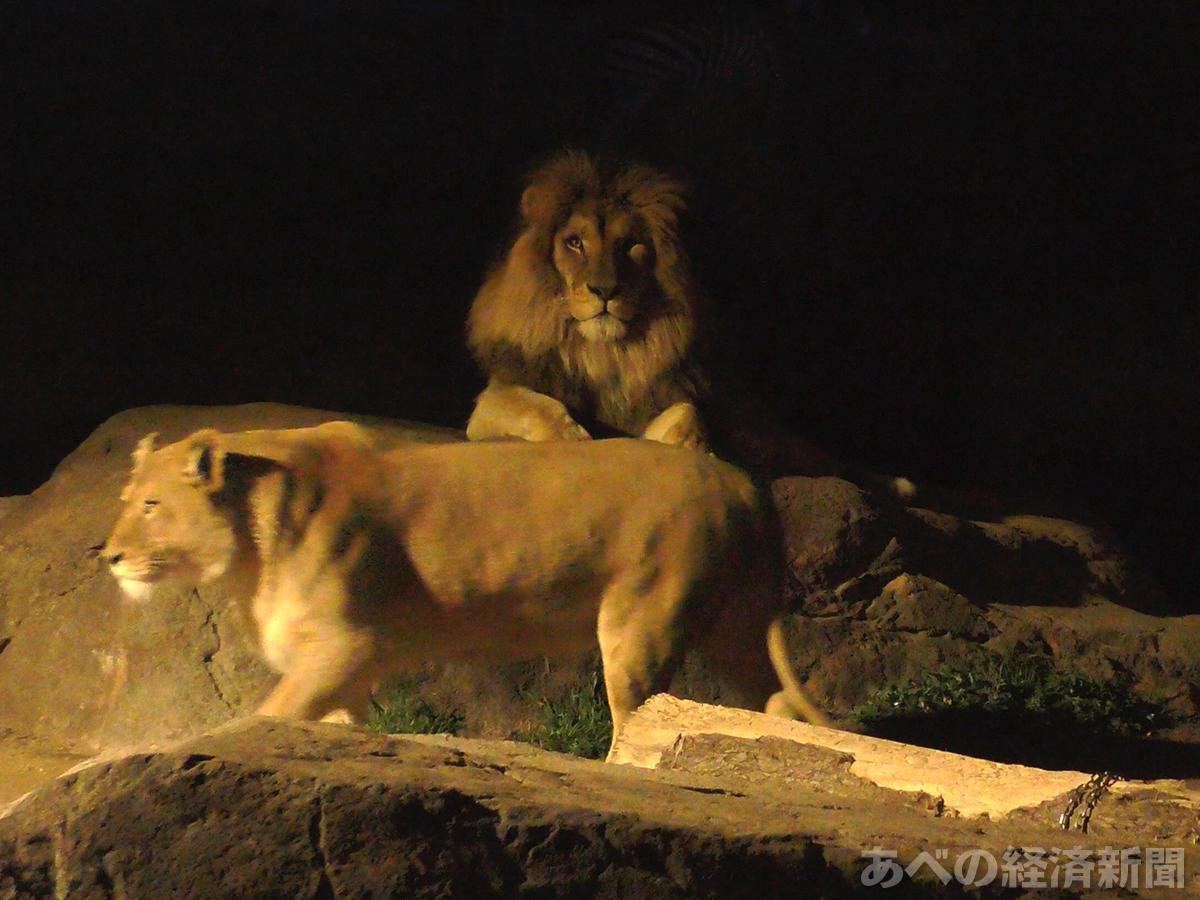 アフリカサバンナゾーンのライオン