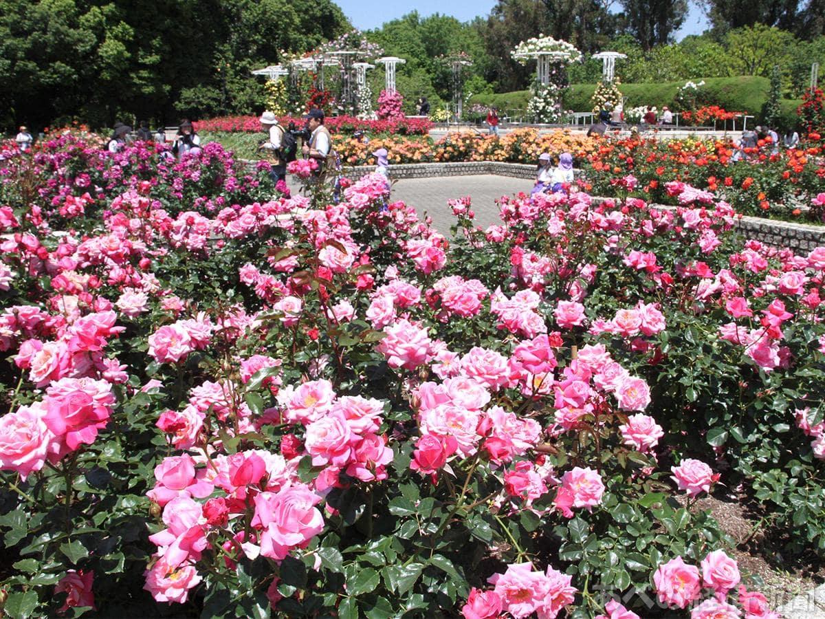 長居植物園バラ園のバラが見頃