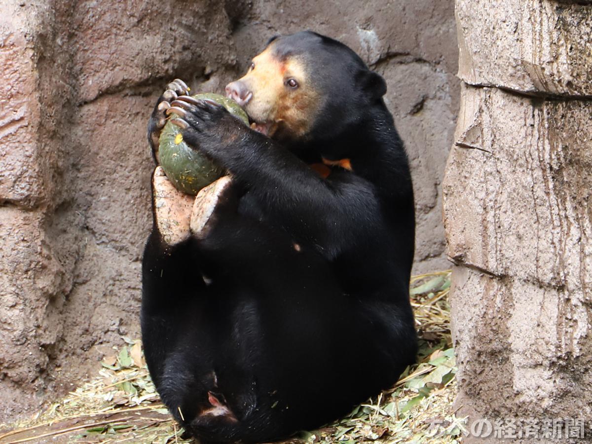 カボチャを足の裏にのせて食べるマレーグマ