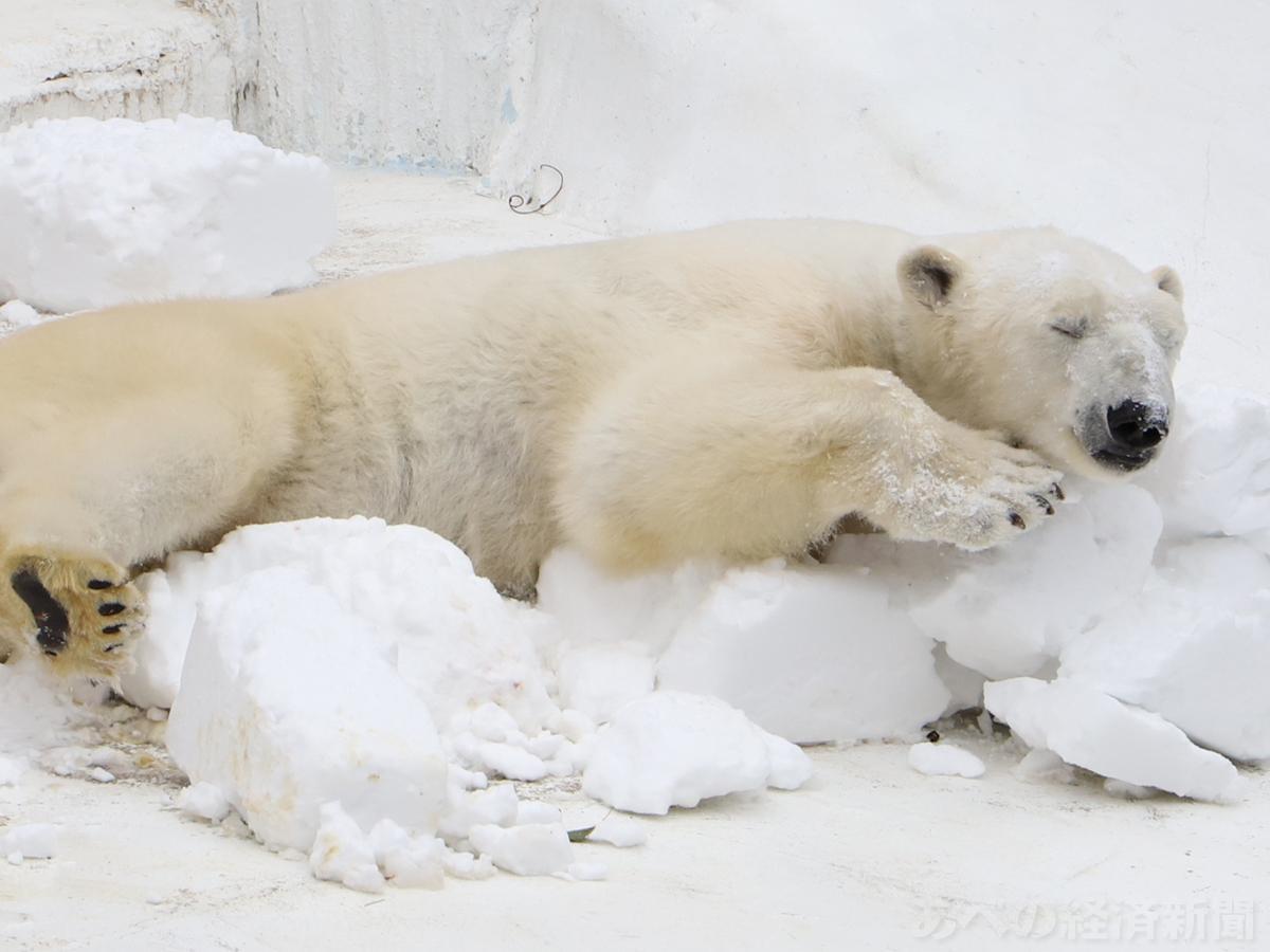 雪に喜ぶホッキョクグマ「イッちゃん」