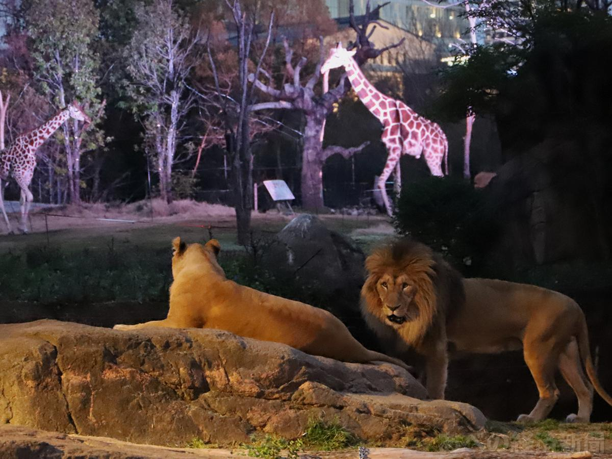 アフリカサバンナゾーンのライオンとキリン