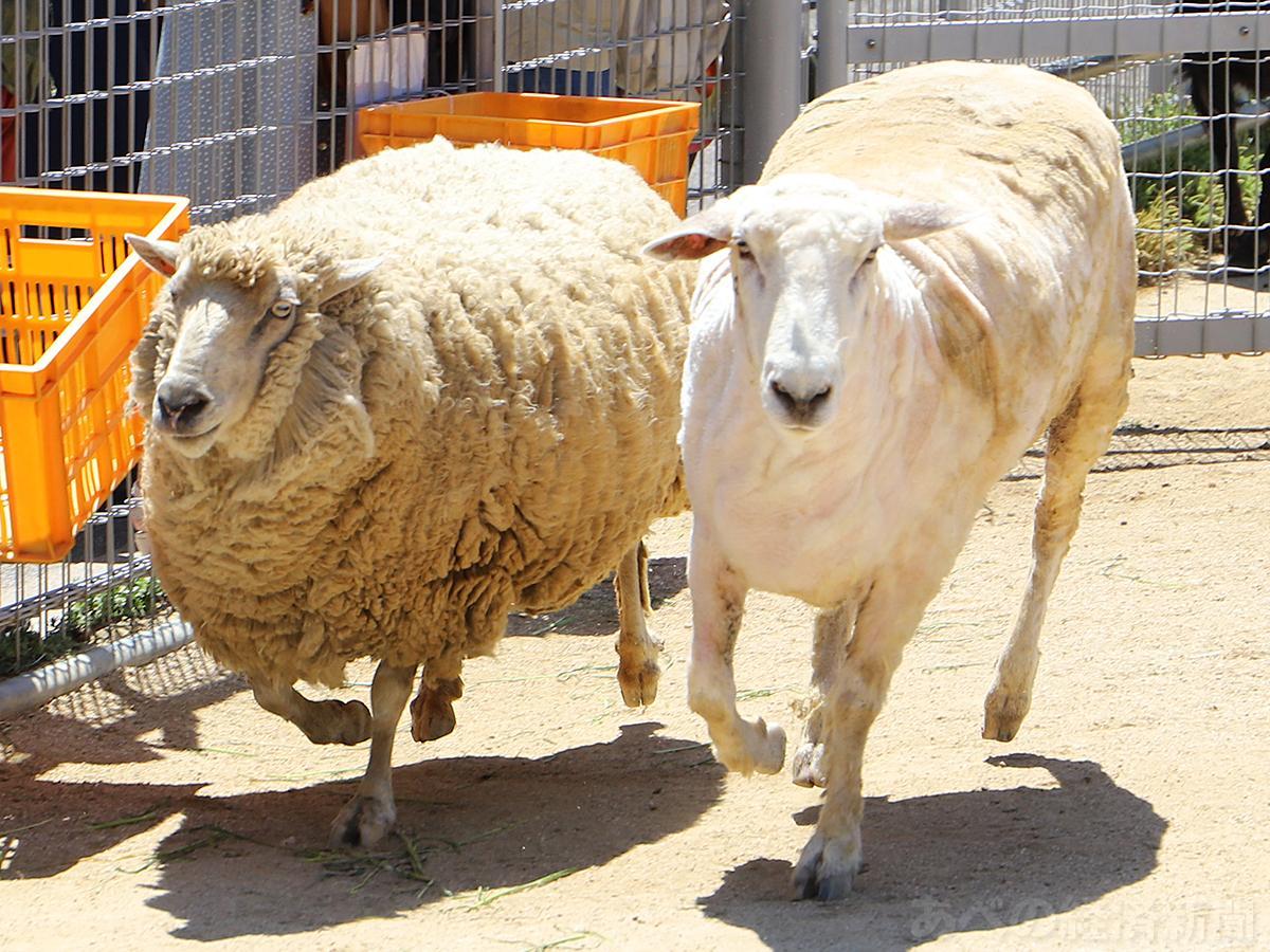 天王寺動物園でヒツジの毛刈り 夏に向けてすっきり - あべの経済新聞