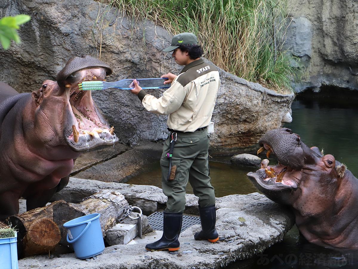 飼育員に歯磨きされるカバのティーナ(左)と歯磨きを待つテツオ