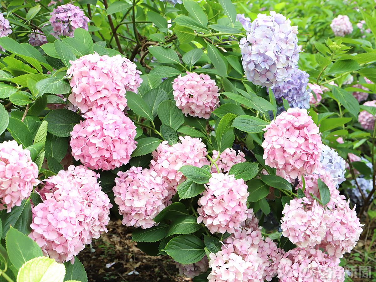 長居植物園のアジサイ(6月28日撮影)
