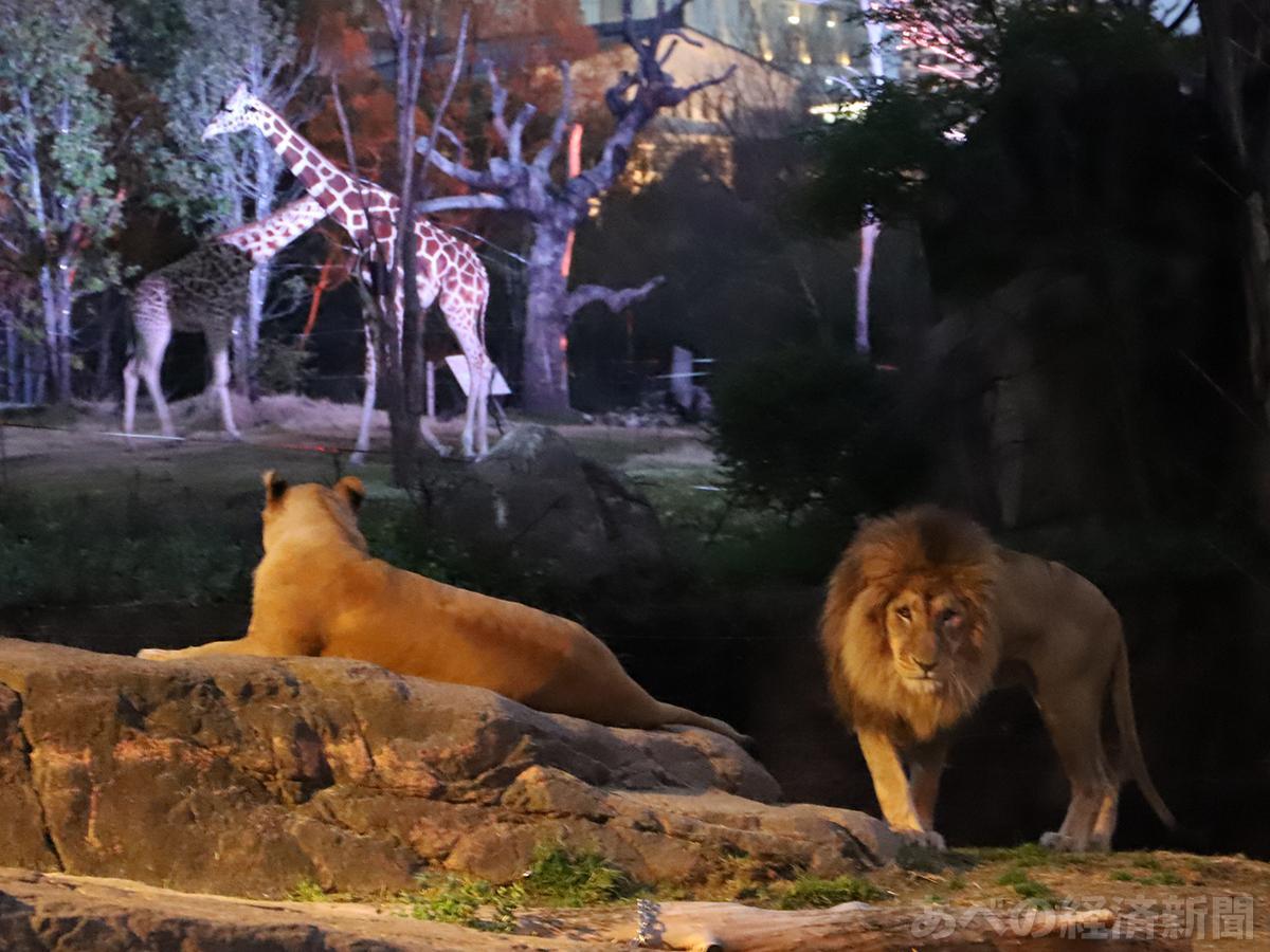 天王寺動物園で「ナイトZOO」(写真は今年春のナイトZOO)