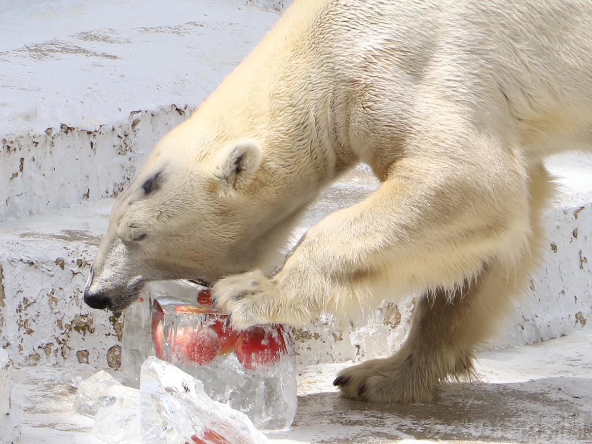 氷柱にかぶりつくホッキョクグマ「ゴーゴ」(天王寺動物園で21日午前)