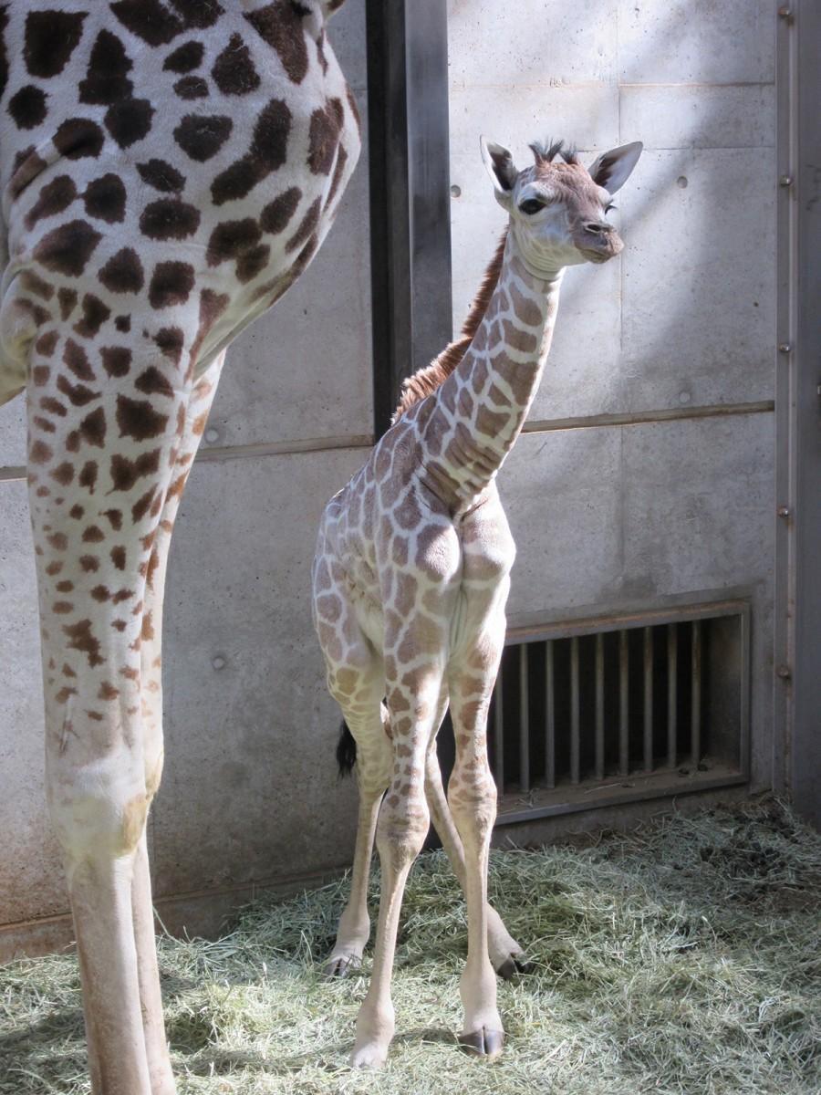天王寺動物園で誕生したキリンの赤ちゃん(写真=天王寺動物園提供)