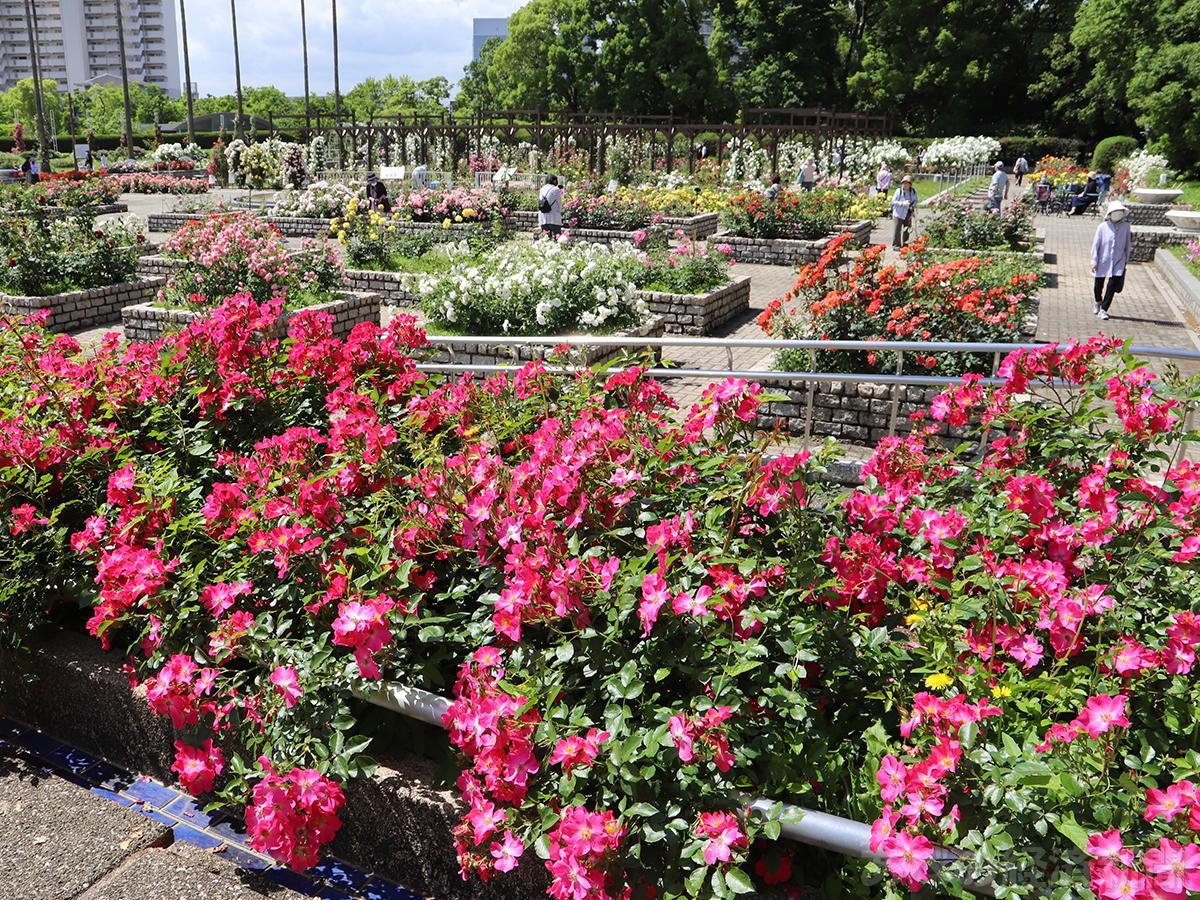 長居植物園のバラ園(5月20日撮影)