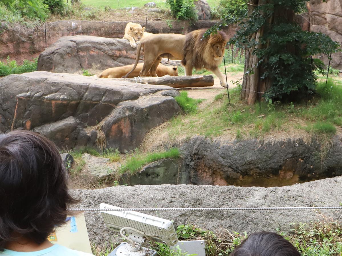 ライオンを眺める来園客