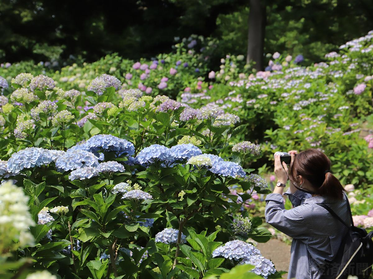 長居植物園のアジサイが見頃に(9日撮影)