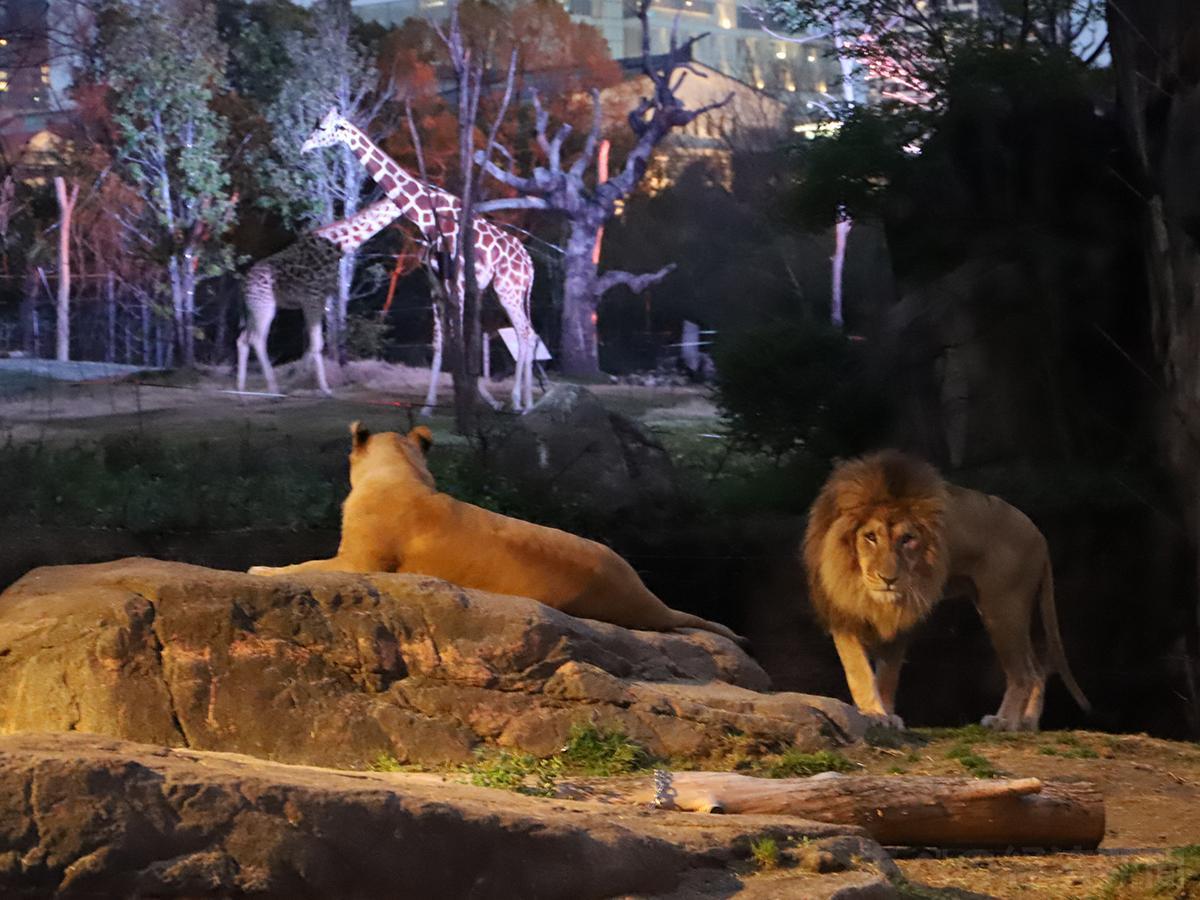 天王寺動物園「ナイトZOO」(以前開催時の様子)