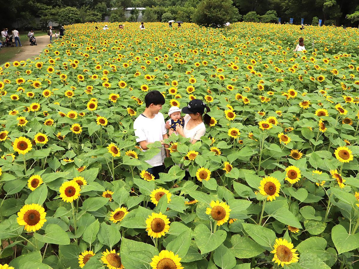 長居植物園のヒマワリ約1万株が満開に(7日11時ごろ撮影)