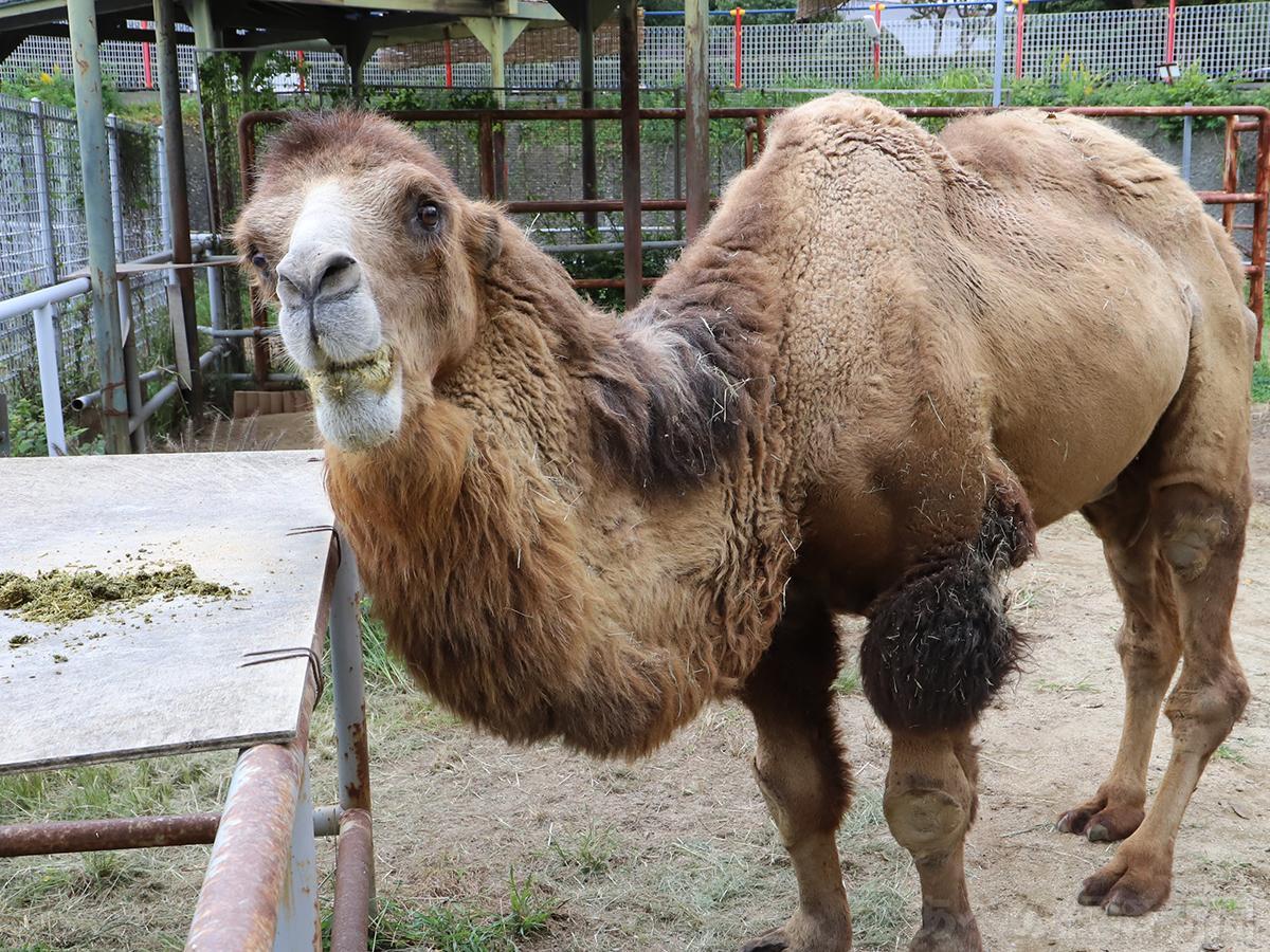 天王寺動物園のフタコブラクダ「ジャック」