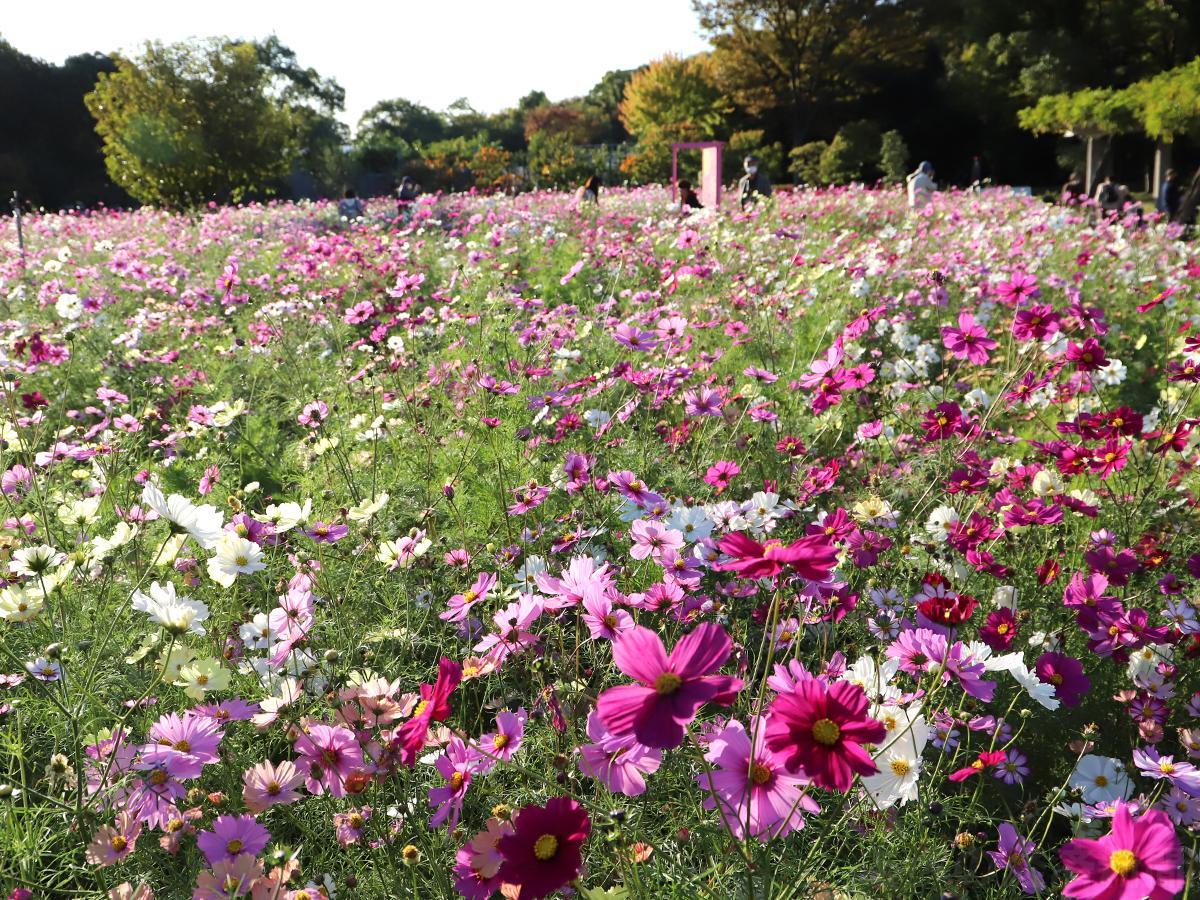 長居植物園のコスモス畑(11月5日撮影)