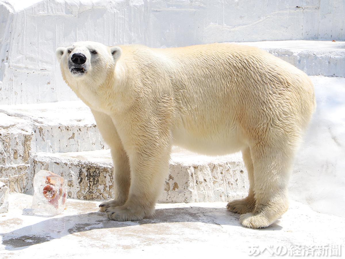 天王寺動物園のホッキョクグマ「ゴーゴ」(2020年7月撮影)