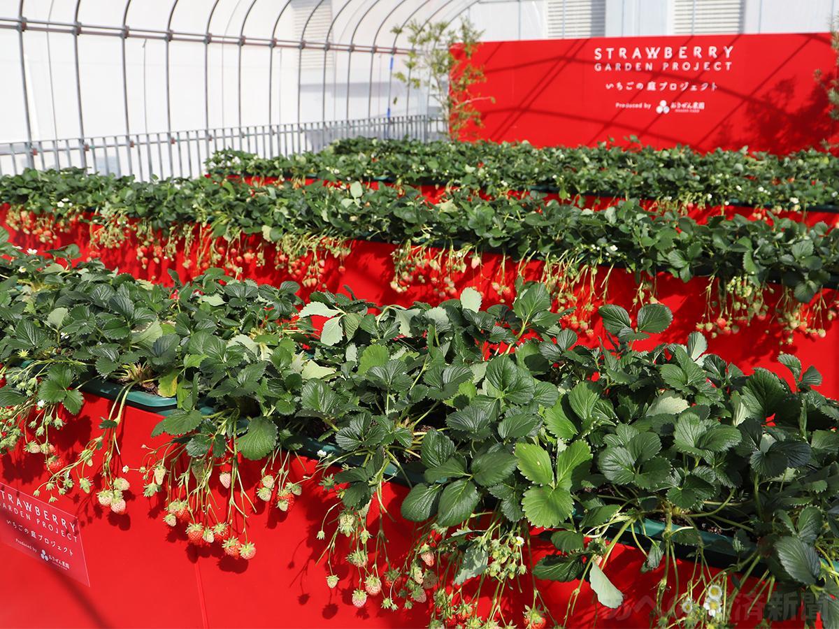 イチゴ摘み体験ができる「いちごの庭プロジェクト」