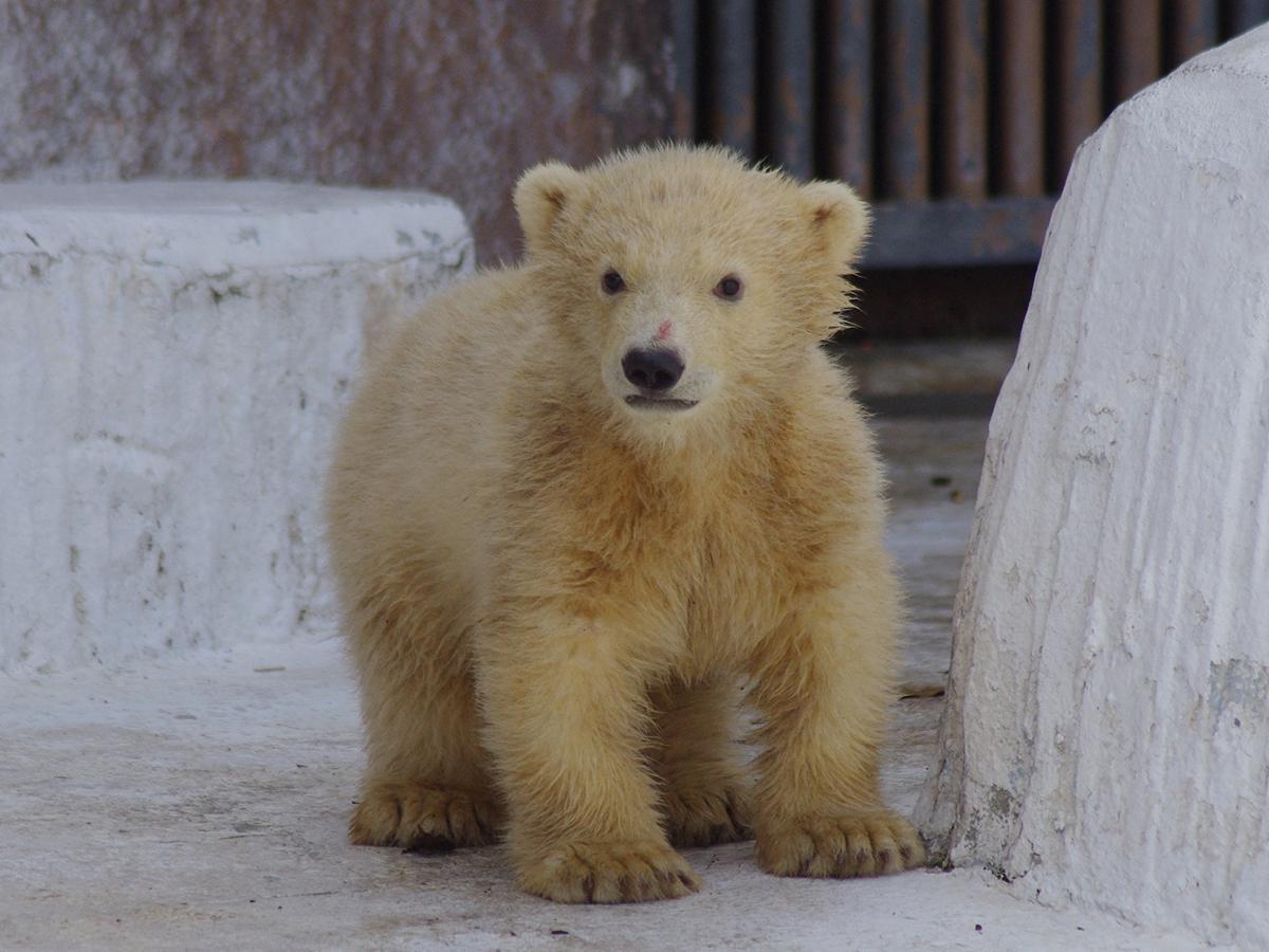 ホッキョクグマの赤ちゃん「ホウちゃん」(写真:2021年3月撮影 天王寺動物園提供)