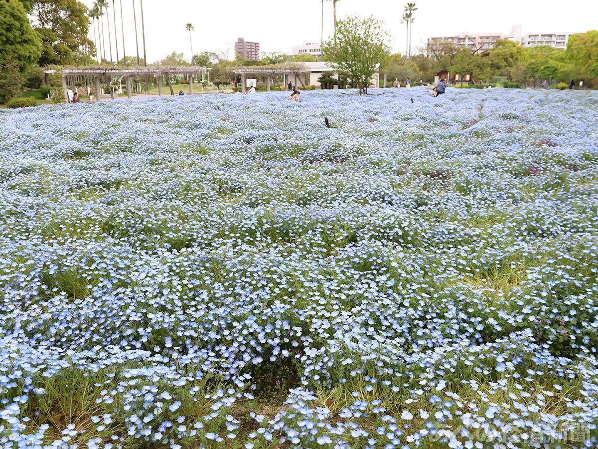 ネモフィラが見頃で青く染まる(4月12日撮影)