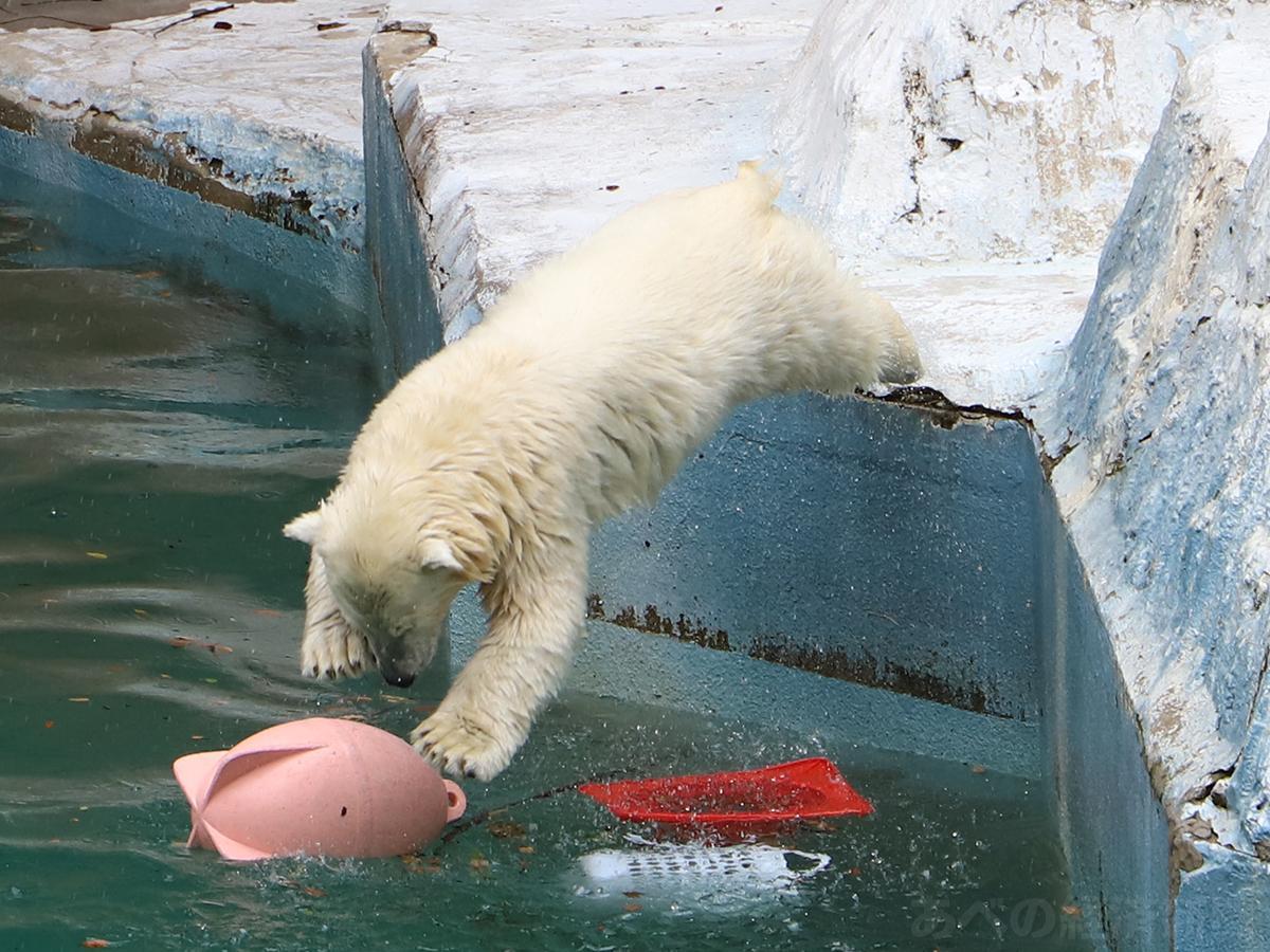 プールに飛び込むホッキョクグマ「ホウちゃん」(22日撮影)