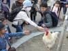 天王寺動物園「奇跡のニワトリ」が4カ月ぶりに散歩 ファンが囲む