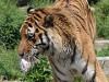 天王寺動物園でアムールトラ「センイチ」の誕生日 「肉ケーキ」贈る