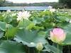 長居植物園のハスが見頃に 早朝開園、ハスまつりも