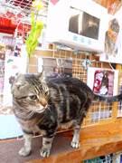 千住・100円ショップの看板猫「なるとくん」にファン集まる