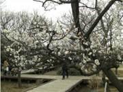 大谷田公園で梅まつり 朝市や出張動物園も
