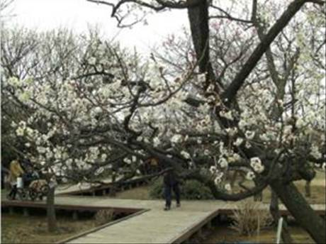 大谷田公園「梅まつり」
