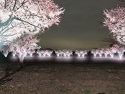 足立・舎人公園「千本桜まつり」、初のライトアップ始まる