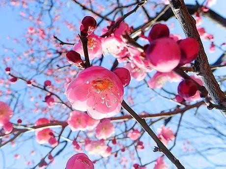 見ごろを迎えている大谷田公園の梅
