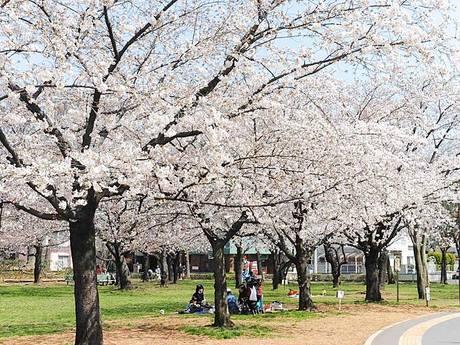 元渕江公園の桜