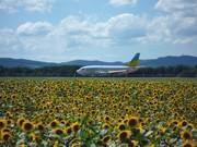 女満別空港周辺でヒマワリ数百万本咲く-大空町がサイトで「開花情報」